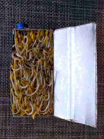 Bean sprouts final product in container